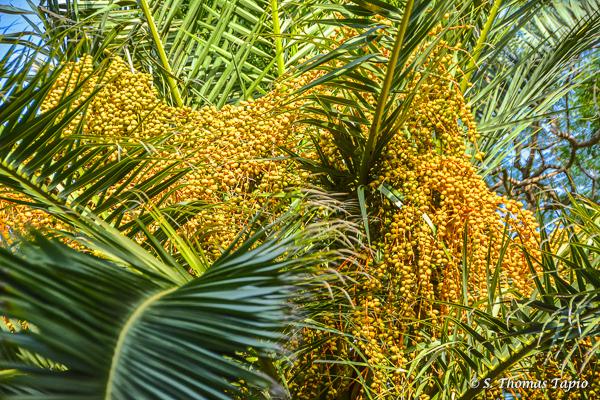 Fruits of a palm tree