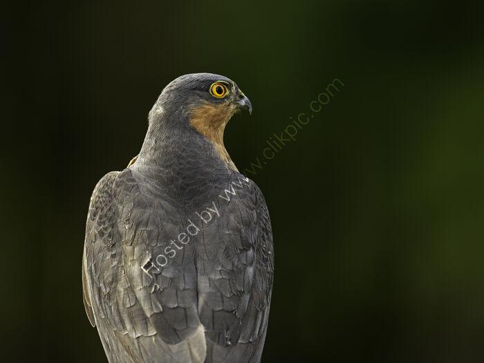 Sparrow Hawk (M)