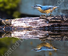 Reb Breasted Nuthatch