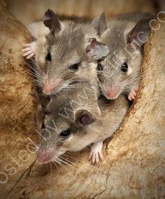 Turkish Spiney Mice