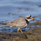 Common Ringed Plover (1)