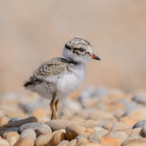 Common Ringed Plover (3)