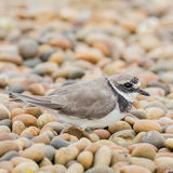 Common Ringed Plover (4)