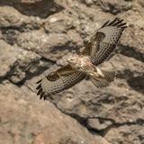 Common Buzzard (1)