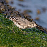 Pied Wagtail (2)