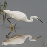 Little Egret (1)