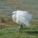 Little Egret (2)