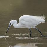 Little Egret (3)