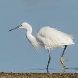 Little Egret (4)