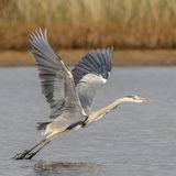 Grey Heron (1)