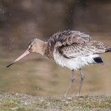 Black-tailed Godwit (3)