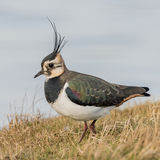 Northern Lapwing (1)
