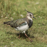 Northern Lapwing (2)