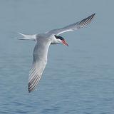 Common Tern (1)