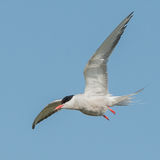 Common Tern (2)