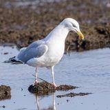 European Herring Gull (1)