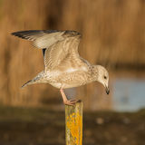 European Herring Gull (2)