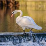 Mute Swan (2)