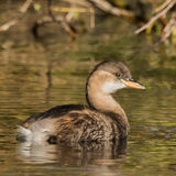 Little Grebe (1)