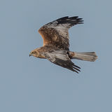 Marsh Harrier (1)