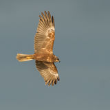 Marsh Harrier (2)