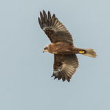 Marsh Harrier (3)