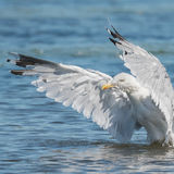 European Herring Gull (2)