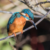 Common Kingfisher (2)