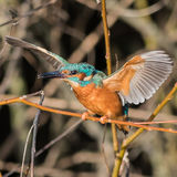 Common Kingfisher (3)