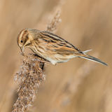 Reed Bunting (1)