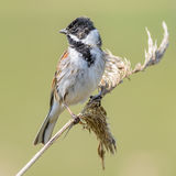 Reed Bunting (3)
