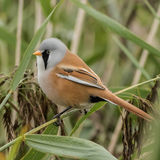Bearded Tit (1)