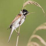 Reed Bunting (4)
