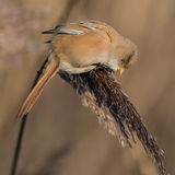 Bearded Tit (2)