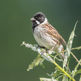 Reed Bunting (5)