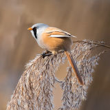 Bearded Tit (3)