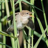 Reed Warbler (1)