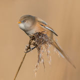 Bearded Tit (5)