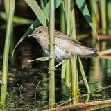 Reed Warbler (2)