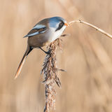 Bearded Tit (6)