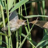 Reed Warbler (3)