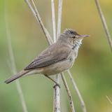 Reed Warbler (4)