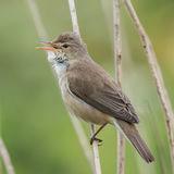 Reed Warbler (5)