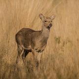 Sika Deer (2)