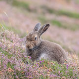 Mountain Hare (3)