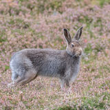 Mountain Hare (5)
