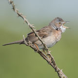 Whitethroat (2)