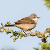 Whitethroat (1)