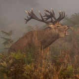 Red Deer (3)