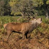 Red Deer (5)